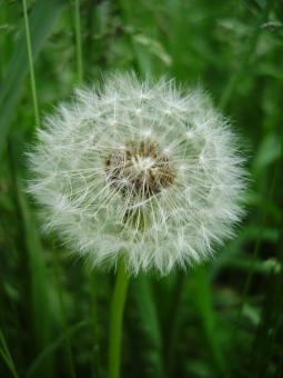 Free Stock Photo of Dandelion Clock