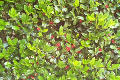 Free Stock Photo of Holly Bush