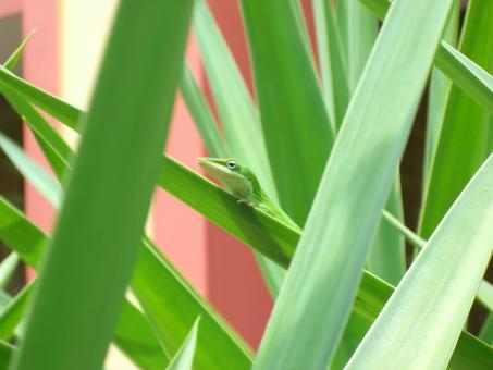 Free Stock Photo of Green Anole