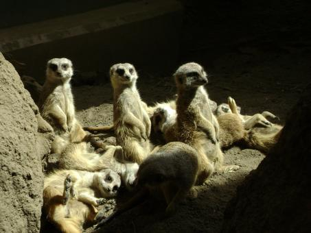 Free Stock Photo of Sunbathing Meerkats