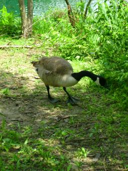 Free Stock Photo of Canada Goose