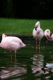 Free Stock Photo of Pink flamengos