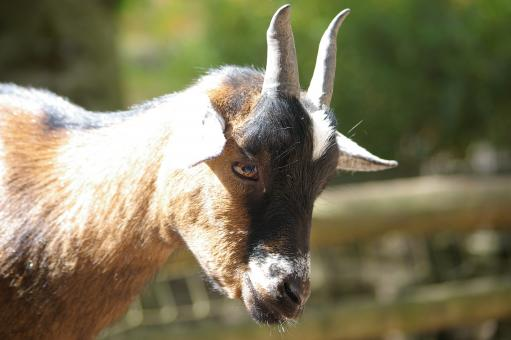 Free Stock Photo of Goat
