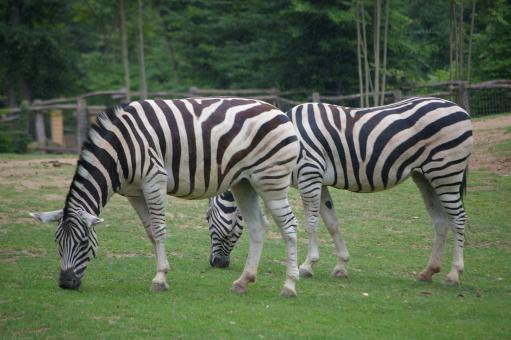 Free Stock Photo of Zebras