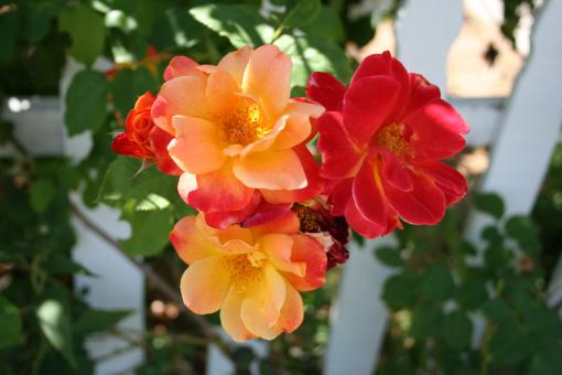Free Stock Photo of Firey roses