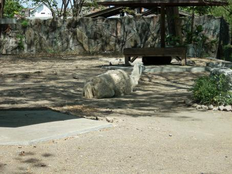 Free Stock Photo of Lama at Surabaya Zoo