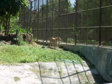 Free Stock Photo of Tiger at Surabaya Zoo