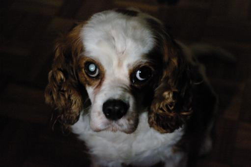 Free Stock Photo of Portrait of a king charles dog