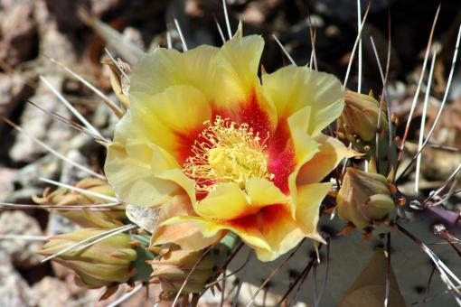 Free Stock Photo of Cactus flowers