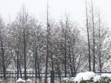 Free Stock Photo of Heavy snow in the pines