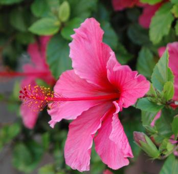 Free Stock Photo of Pink Hibiscus