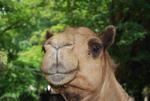 Free Stock Photo of Camel at Surabaya Zoo