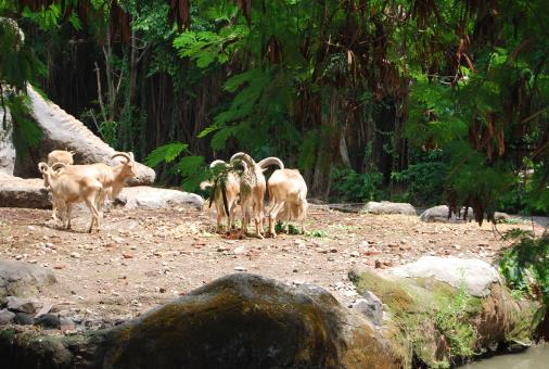 Free Stock Photo of Goats at Surabaya Zoo