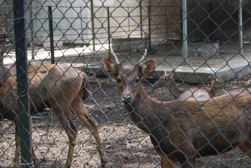 Free Stock Photo of Deers Surabaya Zoo