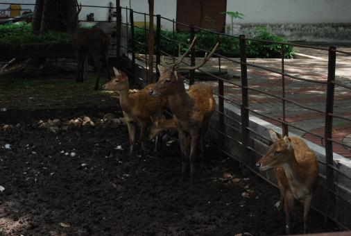 Free Stock Photo of Deers at Surabaya Zoo