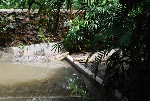 Free Stock Photo of Gators at Surabaya Zoo