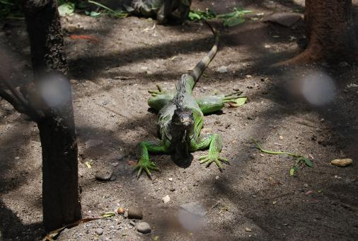 Free Stock Photo of Lizard at Surabaya Zoo