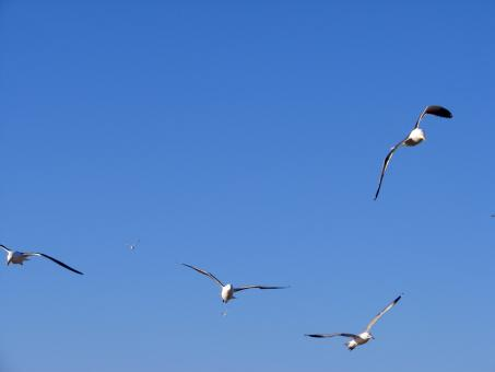 Free Stock Photo of Flight of the Seagulls