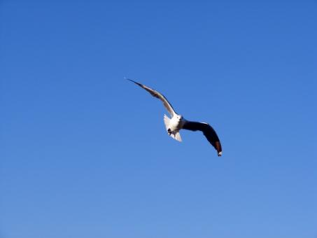 Free Stock Photo of Seagull in motion