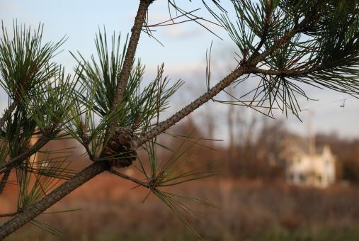 Free Stock Photo of Evergreen branch with pinecone