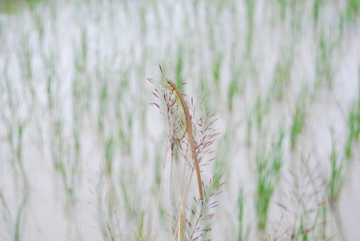 Free Stock Photo of Rice field
