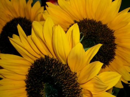 Free Stock Photo of Sunflowers