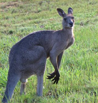 Free Stock Photo of Male Grey Kangaroo