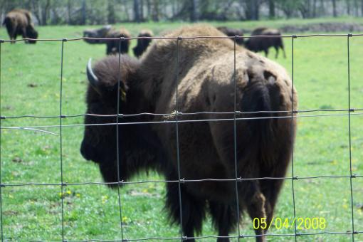 Free Stock Photo of Bison