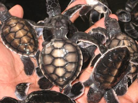 Free Stock Photo of Baby Turtles