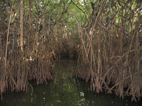 Free Stock Photo of Mangroves