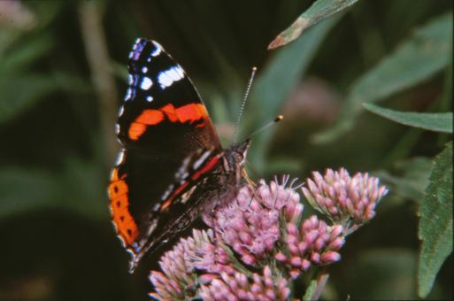 Free Stock Photo of Black and red butterfly