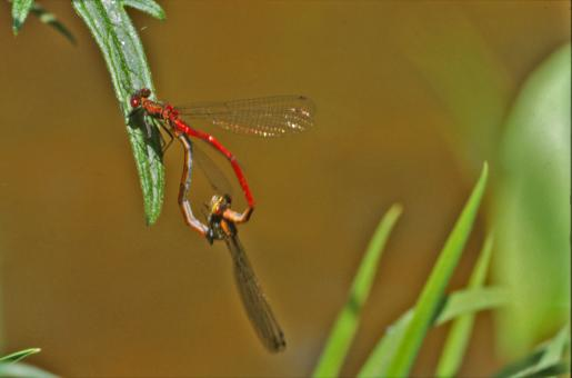 Free Stock Photo of Red dragonfly
