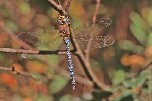 Free Stock Photo of Blue dragonfly
