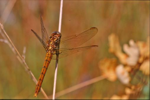 Free Stock Photo of Orange dragonfly