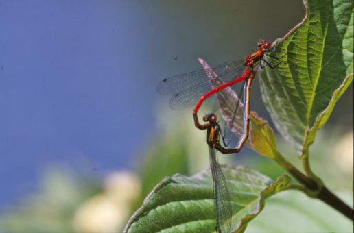 Free Stock Photo of Mating dragonflies