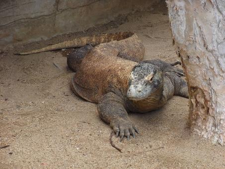 Free Stock Photo of Komodo dragon