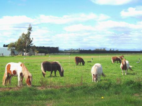Free Stock Photo of Tiny Ponies - near West Melton