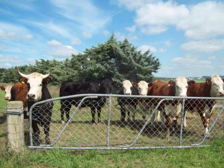 Free Stock Photo of Mixed cattle Herefords and others at Wes
