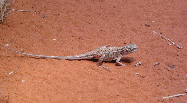 Free Stock Photo of Lizard on red sand