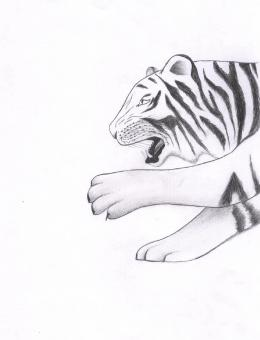 Free Stock Photo of Tiger Sketch