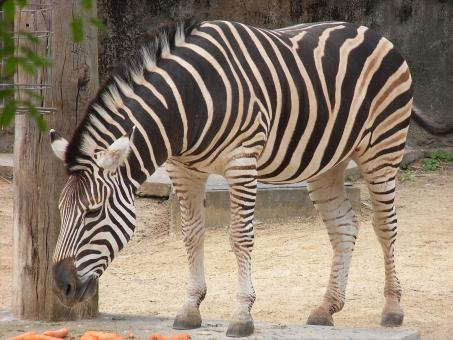 Free Stock Photo of Zebra