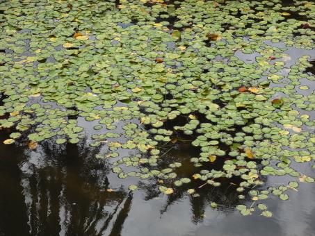 Free Stock Photo of Lily pads