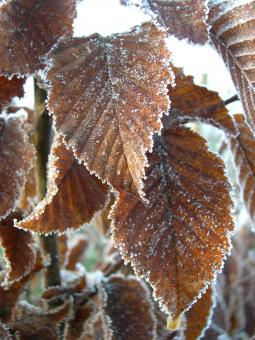 Free Stock Photo of Frosty leaves