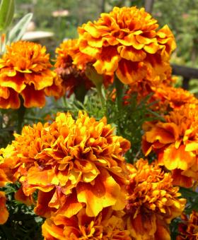 Free Stock Photo of Marigolds