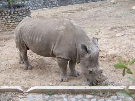 Free Stock Photo of Rhino