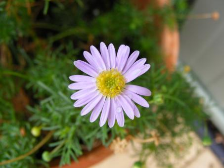 Free Stock Photo of Purple daisy flower