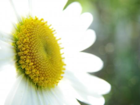 Free Stock Photo of Marguerite