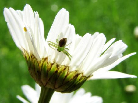 Free Stock Photo of Small Spider on Marguerite