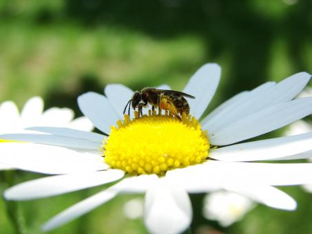 Free Stock Photo of Bee on Marguerite