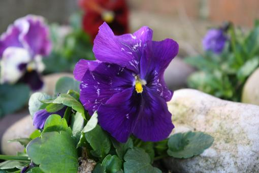 Free Stock Photo of Purple Pansy